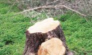 Κρήτη: Κόβουν ελιές που επέζησαν αιώνες μέσα από πολέμους και καταστροφές για να τις κάνουν… καυσόξυλα